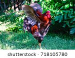 Colorful Rooster On Green Gras...