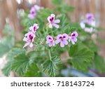 geranium fragrance  pelargonium ... | Shutterstock . vector #718143724