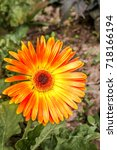 Small photo of African Daisy (Gerbera hybrida) in park, Moscow, Russia