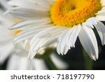 Blooming Camomile  Beautiful...