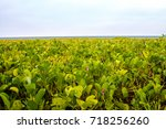pink morning glory flowers on...   Shutterstock . vector #718256260