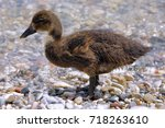 a swan chick dries on the beach   Shutterstock . vector #718263610