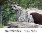 Snow Leopard  Lat. Unica Unica...