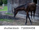 a young black thoroughbred... | Shutterstock . vector #718304458