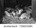family of pigs lying in their... | Shutterstock . vector #718321084