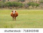pregnant cow in a grassland  | Shutterstock . vector #718343548