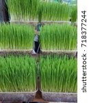 Small photo of Wheatgrass. Most people fevour planted and eat the seedlings of wheat.How to do is to squeeze the juice out of fresh seedlings of wheat and drink fresh.Beneficial to the body.Thailand
