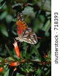 A Gulf Fritillary Butterfly...