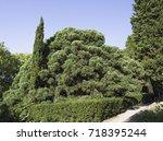 photo cupressocyparis leylandii | Shutterstock . vector #718395244