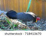 Small photo of A wild Australian brush turkey in Sydney (Alectura lathami)