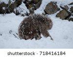 japanese monkey in nagano... | Shutterstock . vector #718416184
