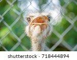 Cute Close Up Photo Of Ostrich...