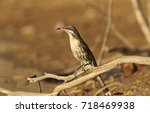 Small photo of A Spiny-cheeked Honeyeater, Acanthagenys rufogularis, perched on a branch near an outback billabong in Western Queensland