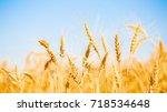 photo of ripe wheat spikes | Shutterstock . vector #718534648