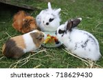 Stock photo guinea pigs and rabbits at dinner 718629430