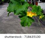 Yellow Crease Pumpkin Flower...