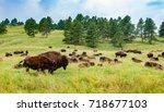 Herd Of American Bison. Group...