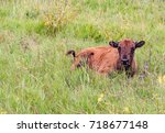Cute American Bison Calf Lying...