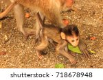 Baby Macaque Walks Around His...