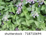 Catnip Or Catmint Green Herb...