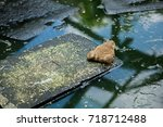 many frogs are found in a pond...   Shutterstock . vector #718712488