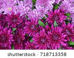 Chrysanthemum Flowers As A...