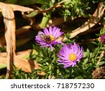 autumn flowers and bee | Shutterstock . vector #718757230