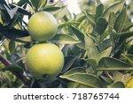 unripe oranges on a tree | Shutterstock . vector #718765744