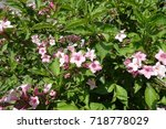 pink flowers among green leaves ... | Shutterstock . vector #718778029