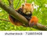 red panda is looking into the... | Shutterstock . vector #718855408