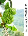 Green Bananas On Banana Tree.