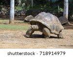 Stock photo giant turtles dipsochelys gigantea in island mauritius close up 718914979