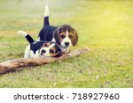 Stock photo cute young beagles playing together in garden 718927960