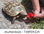 Cute Baby Turtle  Testudo...