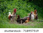 rooster and hens on sunny day... | Shutterstock . vector #718957519