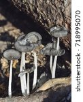 Small photo of Hare'sfoot Ink-Cap Fungus - Coprinopsis lagopus on woodland floor