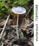 Small photo of Hare'sfoot Ink-Cap Fungus - Coprinopsis lagopus Woodland Fungus