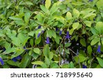 Small photo of purple flower buds of acnistus solanaceae australian plant blooming in garden