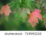 Maple Leaves On The Tree. They...