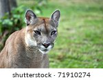 Small photo of The cougar (Puma concolor), also known as puma, mountain lion, mountain cat, catamount or panther, depending on the region, is a mammal of the family Felidae, native to the Americas.