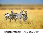 Zebra in the grass nature...