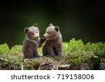 Two Young Brown Bear Cub In Th...