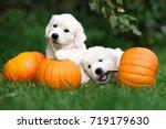 Two Golden Retriever Puppies...