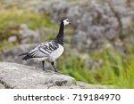 barnacle goose  branta... | Shutterstock . vector #719184970