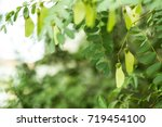 Tipuana Leaves And Fruits...