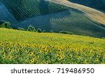 Country landscape between Imola (Bologna) and Riolo Terme (Ravenna, Emilia Romagna, Italy) at summer. Vineyards
