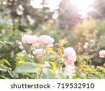 Stock photo rose garden 719532910