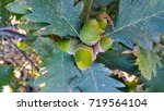 Small photo of Oak tree branch acorn nut as beautiful autumn season background