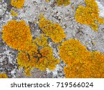 Yellow Lichen Growing On Old...