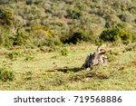 Zebra Lying Flat On The Ground...